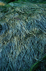 Surfgrass at low tide lying flat