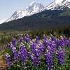 Lupines in Paradise Valley Alaska
