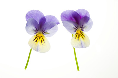 Two Blue and Yellow Pansies Isolated on White Background