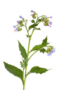 Comfrey Herb with Flowers