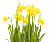 beautiful, beauty in nature, blooming, daffodil, flower, isolate