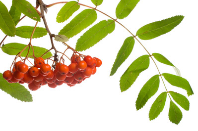 close-up ashberries