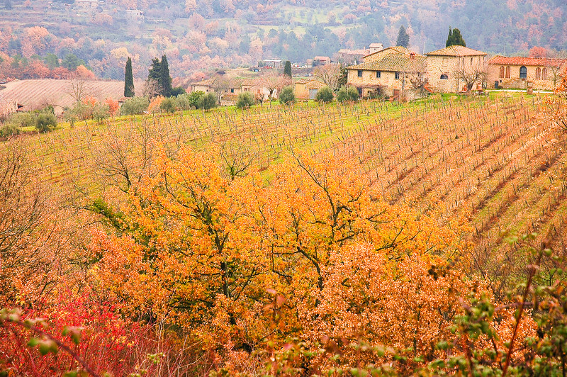 Vineyard in Chianti<br /> Tuscony
