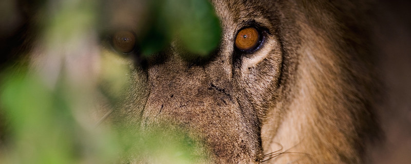 Lion Eyes-header