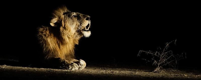 Male Lion Roaring At Night-Header