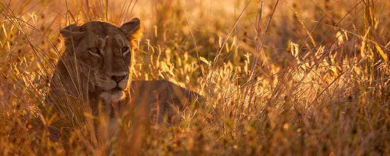 Lioness in Fading Light-header