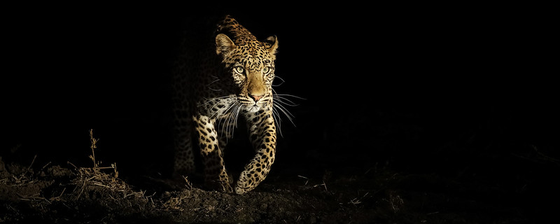 Leopard Emerging Out Of The  Shadows-header