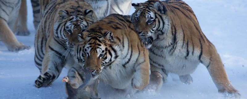 Tigers-15