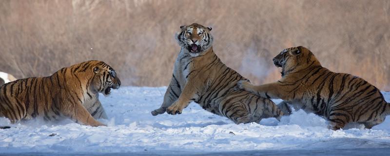 Tigers-14