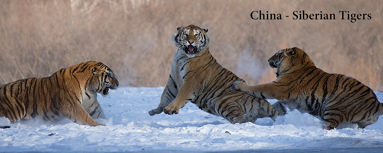 "<a href=""http://www.incredibletravelphotos.com/2019-Workshops/2019TravelWorkshops/01-19-2019-Panda-Tigers/"">Click here to learn more...</a>"
