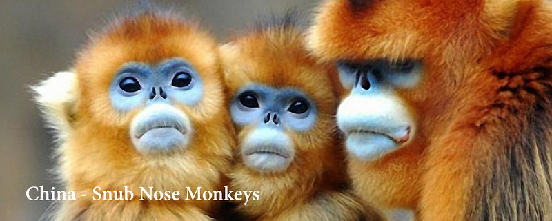 """<a href=""""http://www.incredibletravelphotos.com/2019-Workshops/2019TravelWorkshops/01-30-2019SnubNoseMonkeys/"""">Click here to learn more...</a>"""