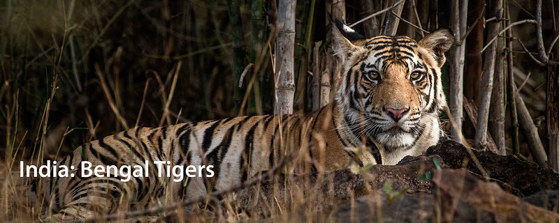 "<a href=""https://www.incredibletravelphotos.com/2020-Workshops/2020-Travel-Workshops/04-05-20-Bengal-Tigers/"">Click here to learn more...</a>"