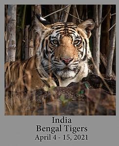 04-05-21 Bengal Tigers