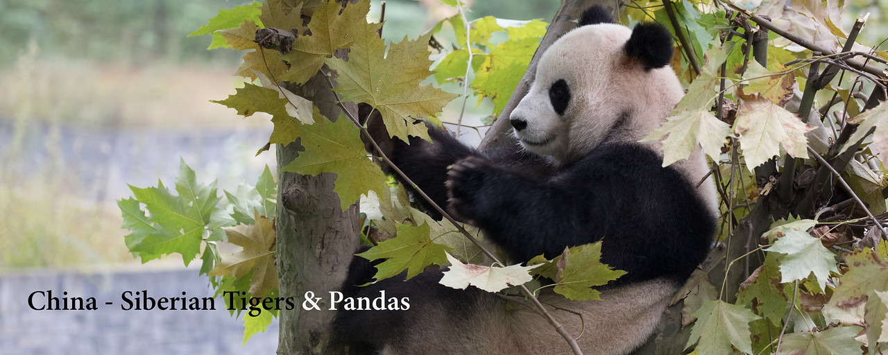 """<a href=""""http://www.incredibletravelphotos.com/2018-Workshops/2018-Travel-Workshops/02-05-2018-China-Tigers-Pandas"""">Click here to learn more...</a>"""