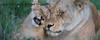 Tanzania - Cats & Great Migration
