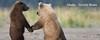 Alaska - Grizzly Bears