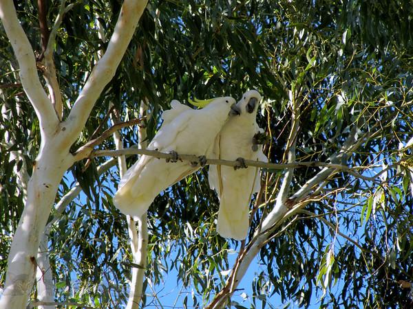 Cockatoos Near Hall's Gap - Australia
