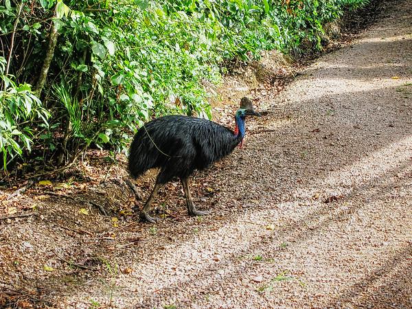 Southern Cassowary - Daintree - Queensland