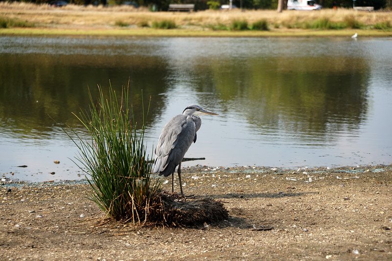 Heron by Rushmere - Heatwave 2020