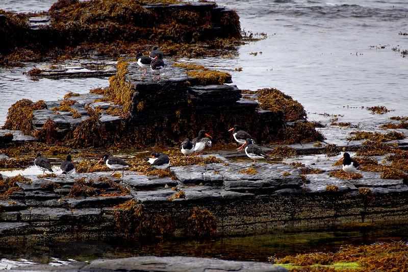 Sea Birds - Westness - Rousay