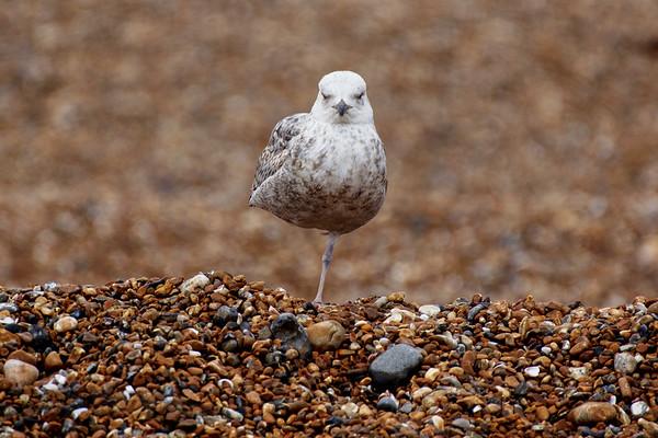 Seagull on Brighton Beach