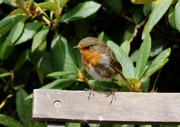 Robin Redbreast on a Chair