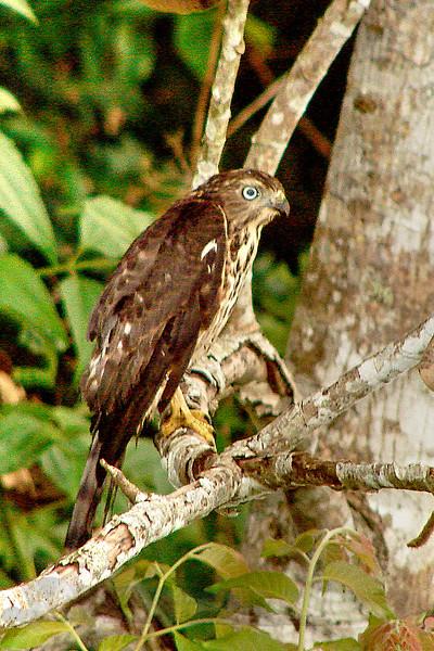 Khao Yai National Park - Amur Falcon