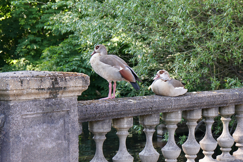 Egyptian Geese on Cannon Hill Common
