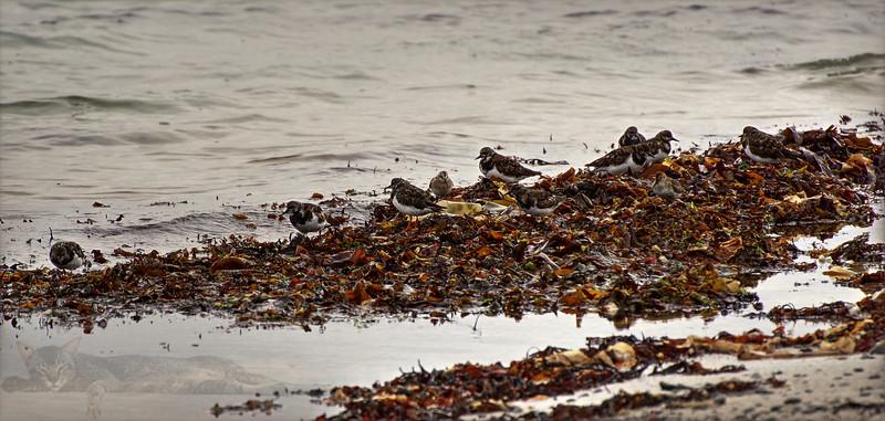 Egilsay - Birds on the Beach