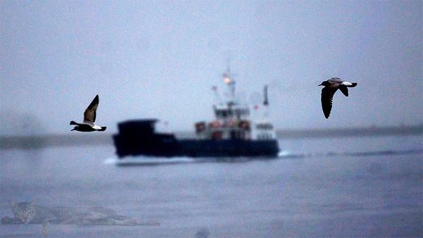 Eynhallow Sound - Seagulls