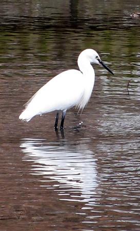 Egret - Egret at Chichester Harbour
