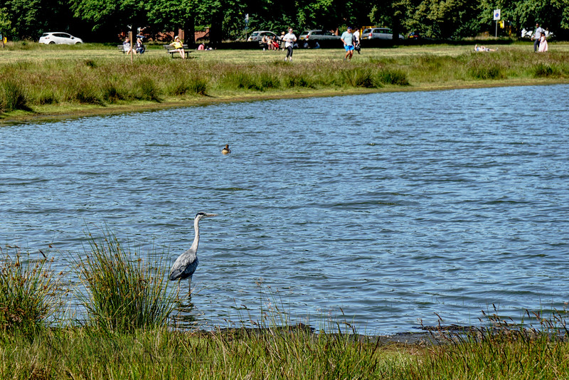 A Heron on Rushmere Pond - Wimbledon Common