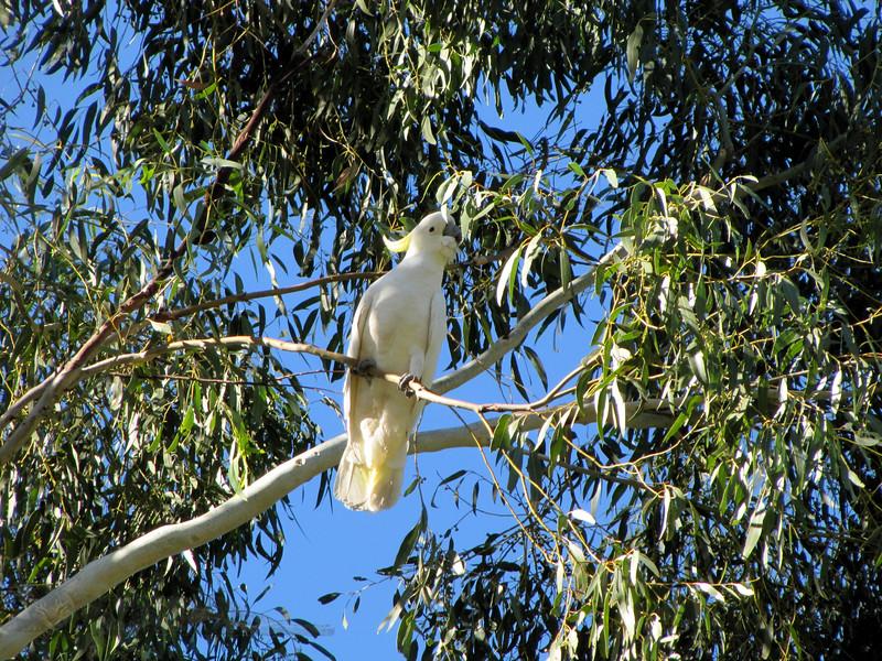 Bird - Cockatoo - Hall's Gap - Australia