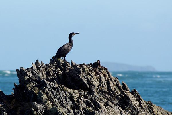 Cormorant on Rocks off Ramsey Island