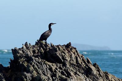 Cormorant on a Rock
