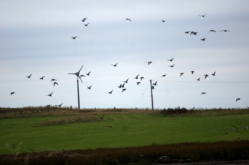 Egilsay - Geese on the Wing