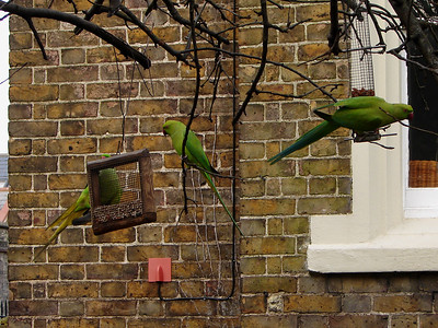 Parakeets of London