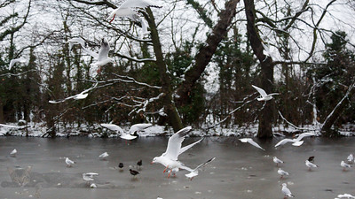 Birds over Frozen Lake on Cannon Hill Common - 2013