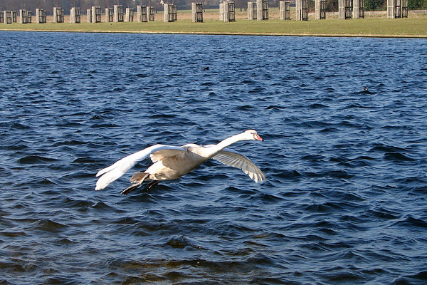 Swan Taking off from The Long Water