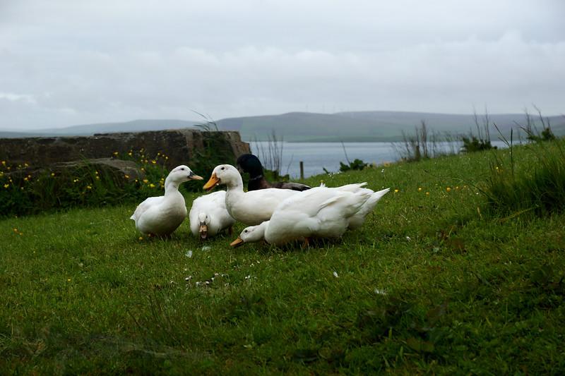 White Ducks - Rousay