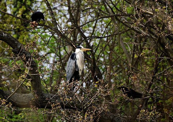 Heron and Two Crows