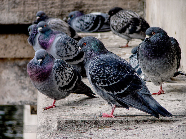 Pigeons on Kingston Bridge