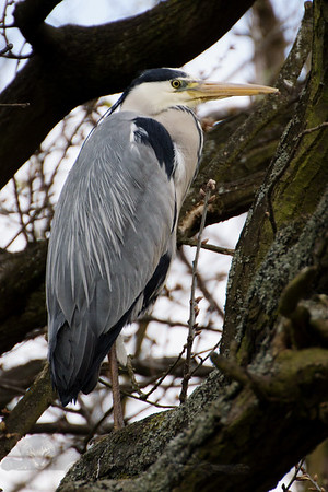 Heron on a Tree on Cannon Hill Common