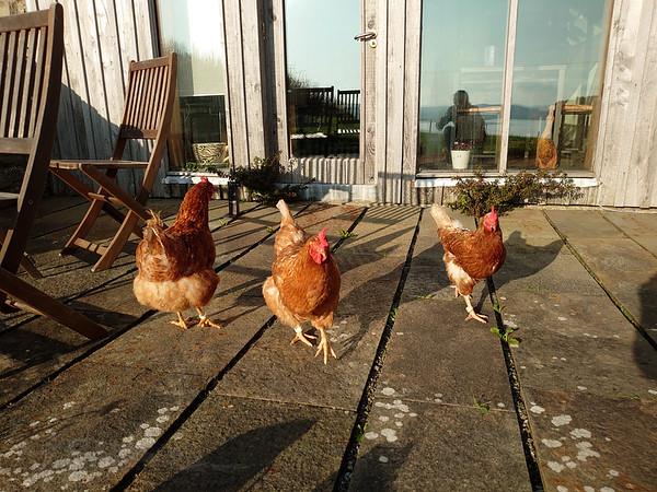 Trumland Farm - Rousay - Chickens