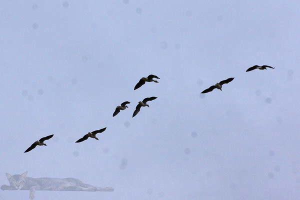 Flying Geese - Rousay