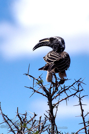 African Grey Hornbill in Namibia