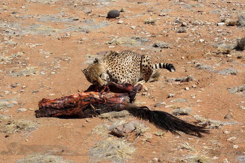 Feeding Cheetahs
