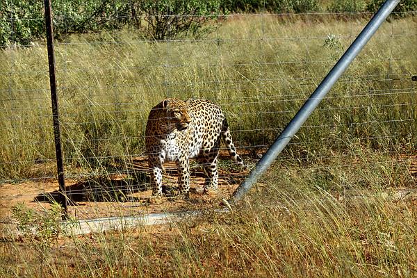 Naankuse - Leopard - Namibia