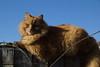 The Fluffy Ginger Cat
