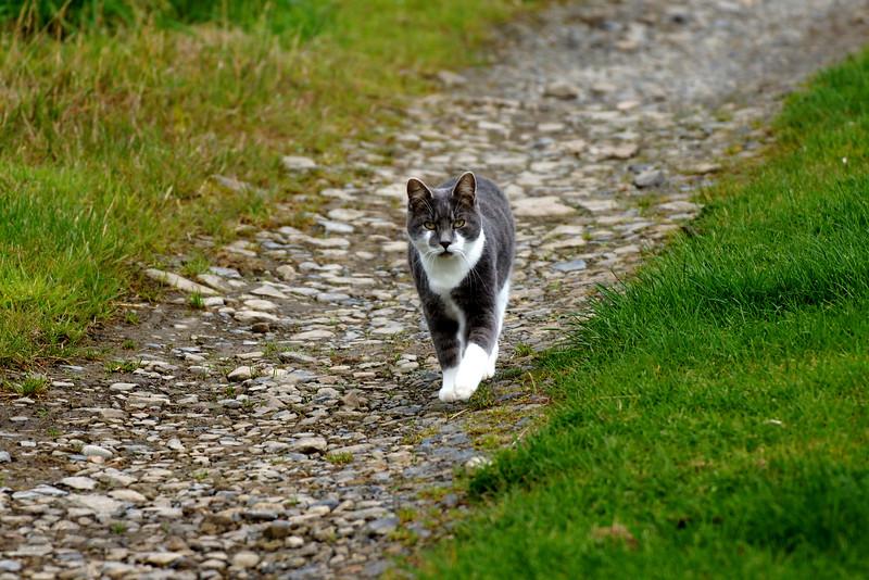 Trumland Farm - Rousay - Cat